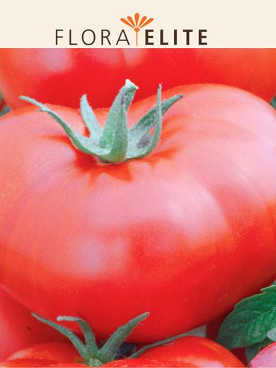 Tomate 'Saint-Pierre' (Art.Nr. 21565)