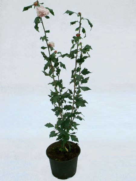 Verkaufspflanze Hibiskus im Container