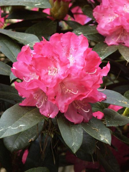 Rhododendron yak. 'Anuschka' INKARHO ®