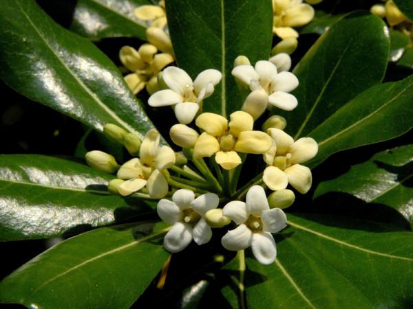 Pittosporum tobira, chinesische Klebsame