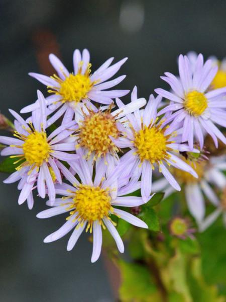 Aster ageratoides 'Asran' (M), Ageratum-Aster, Wild-Aster