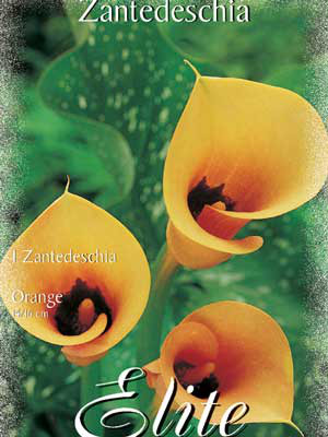Calla 'Orange', Zantedeschia (Art.Nr. 522158)