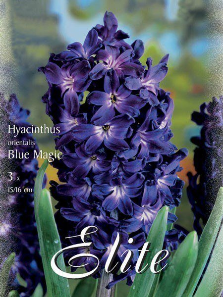 Hyazinthe 'Blue Magic' (Art.Nr. 595025)