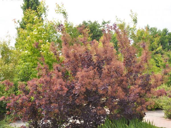 Der Perückenstrauch 'Royal Purple' während der Blüte