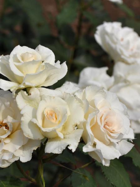 Blüte der Rose Margaret Merril