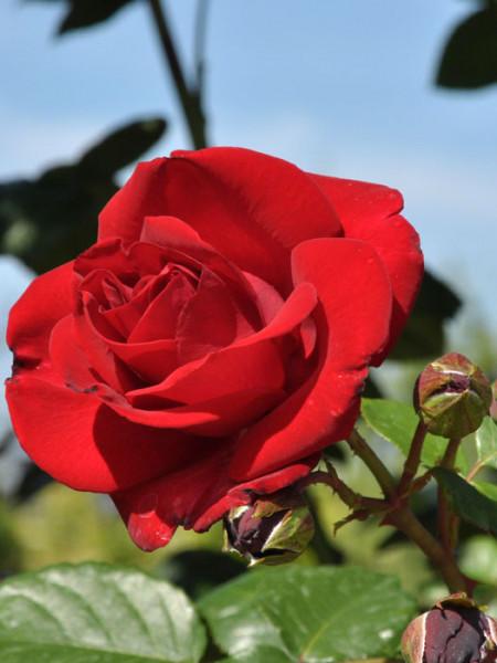 Blüte der Rose Santana
