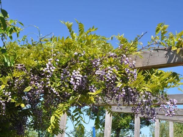 Blauregen Violacea Pleana an einer Pergola