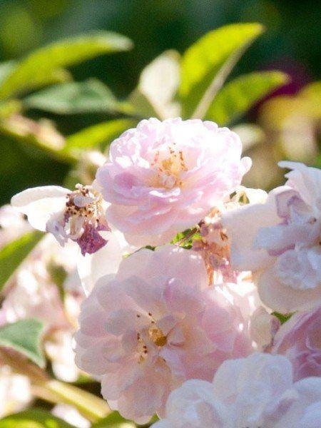 Blüte der Rose Paul´s Himalayan Musk Ramler