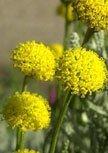 santolina-chamaecyparissus56d966153d27e
