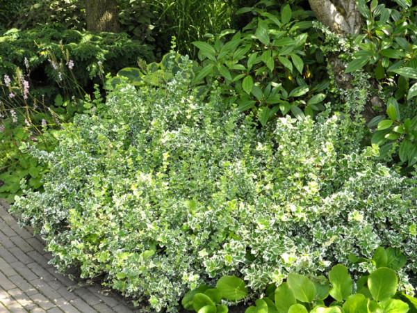 Die weißbunte Kriechspindel 'Emerald Gaiety' als Bodendecker