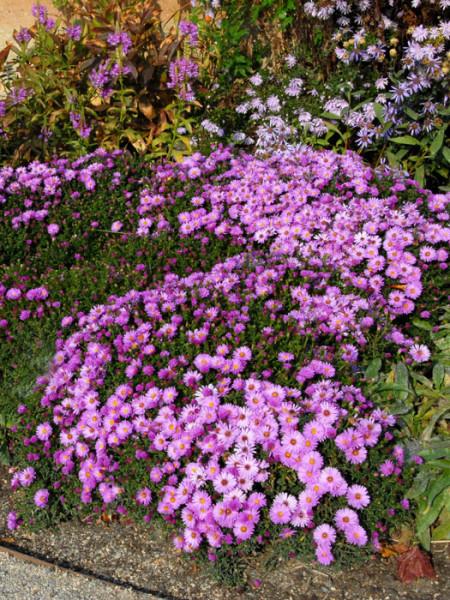 Aster dumosus 'Rosenwichtel', rosa Kissen-Aster, Herbst-Aster
