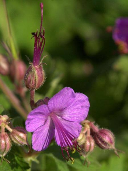 Blüte des Balkan-Storchschnabels 'Ingwersen'