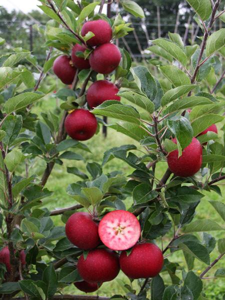 Apfel Rosette