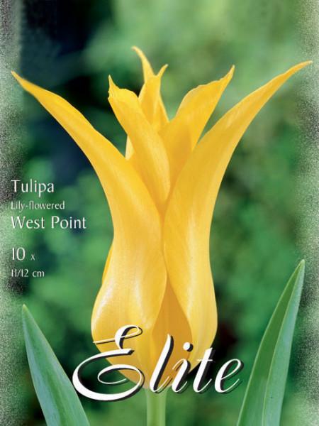 Lilienblütige Tulpe 'Westpoint' (Art.Nr. 595478)