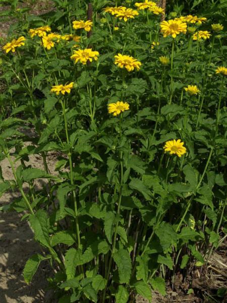 Heliopsis scabra 'Spitzentänzerin', Sonnenauge