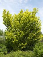 Ulmus carpinifolia 'Wredei', Goldulme