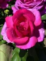 Rose Parole ® - Kordes