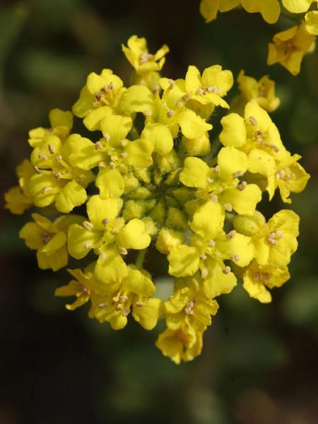 Alyssum saxatile 'Goldkugel', Steinkraut, Steinkresse, Felsensteinkraut