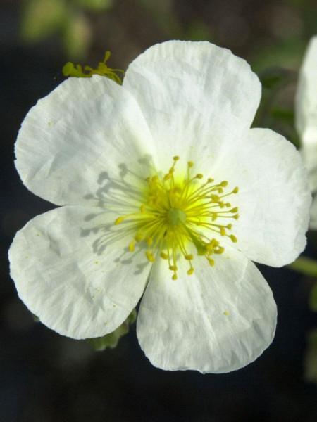 Einzelblüte des Garten-Sonnenröschens 'Eisbär'