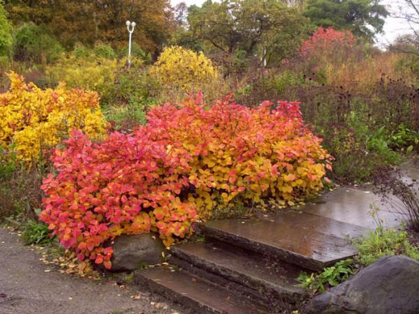 Der Federbuschstrauch im Herbst