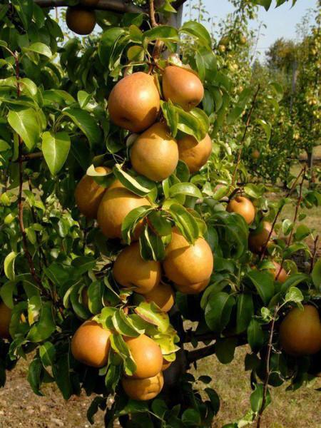 Gellerts Butterbirne am Baum