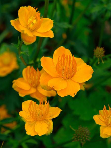 Trollius x cultorum 'Orange Globe', Gefüllte Garten-Trollblume