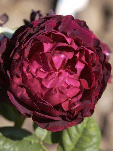Rose Astrid Gräfin von Hardenberg
