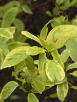 Cornus alba 'Spaethii', Gelbbunter Hartriegel