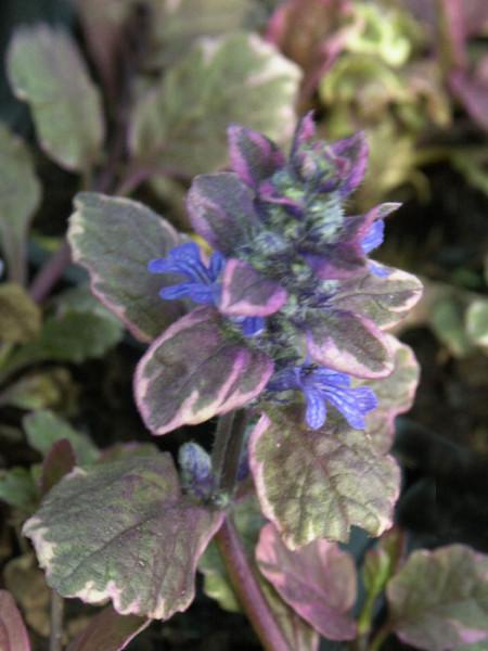 Blüte des Gartengünsels