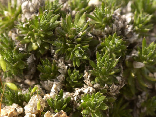 Draba aizoides, Felsenblümchen, Hungerblümchen
