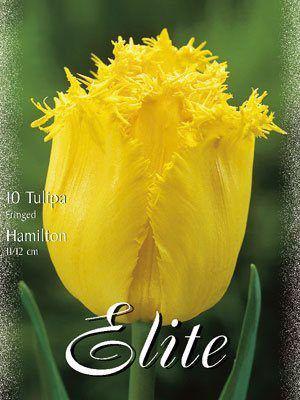 Gefranste Tulpe 'Hamilton' (Art.Nr. 595518)