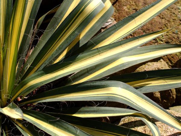 Yucca filamentosa 'Colour Guard', Palmlilie