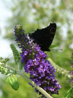 Buddleja davidii 'Empire Blue', Sommerflieder