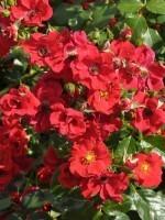 Rose Alpenglühen ® - Tantau