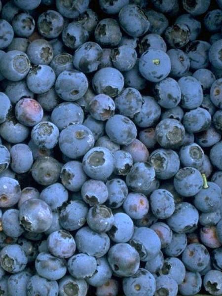 Trauben-Heidelbeere 'Reka® blue'