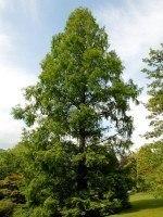 Metasequoia glyptostroboides, Urweltmammutbaum