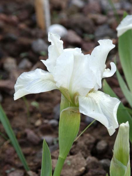 Iris x barbata-nana 'Die Braut', Zwerg-Bartiris, Zwerg-Schwertlilie