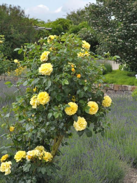 Strauch der Rose Lichtkönigin Lucia
