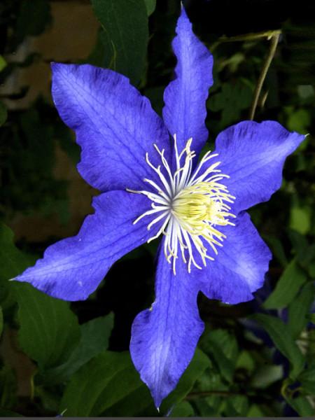 Einzelblüte der Clematis 'Lasurstern'