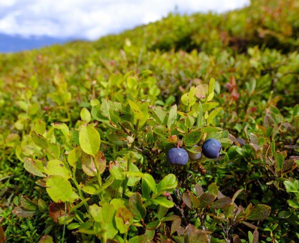 Zwerg-Heidelbeere 'Little Blue Wonder®'