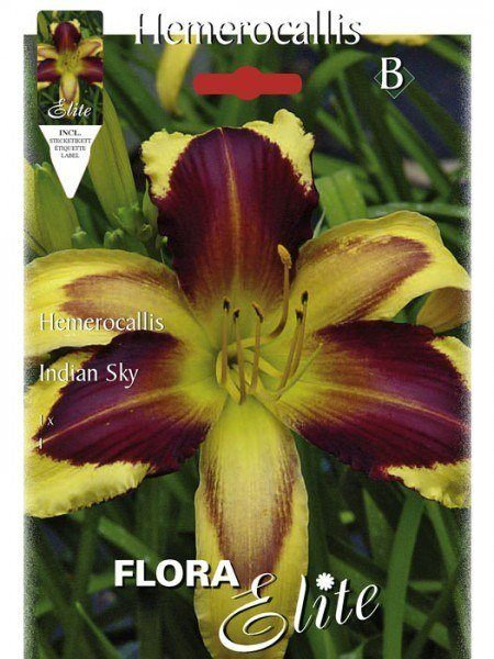 Taglilie 'Indian Sky', Hemerocallis (Art.Nr. 521453)