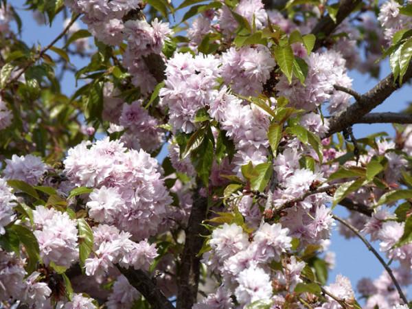 Prunus serrulata 'Kiku-Shidare-Sakura', Japanische Hänge-Nelkenkirsche - XXL-Produkt