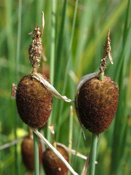 Typha minima, Zwergrohrkolben