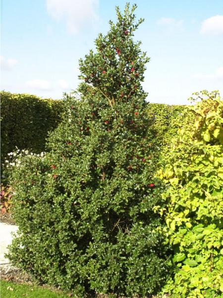 Stechpalme Alaska Solitärpflanze