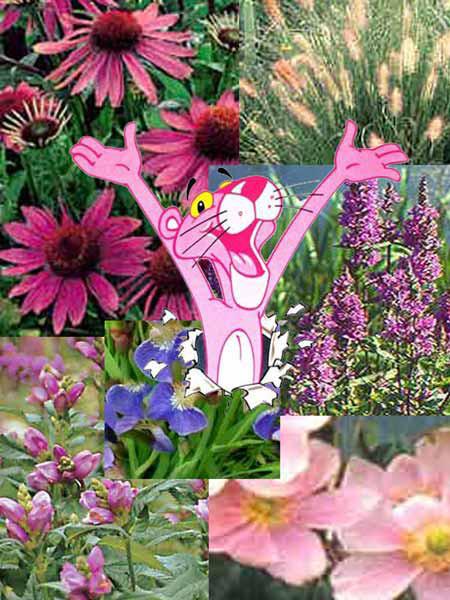 Stauden-Sortiment 'Pink Paradise' 46 Stück