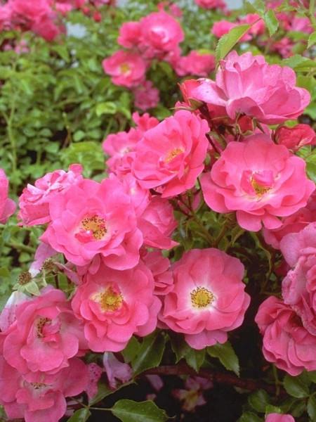 Rosafarbene Blüte der Rose Heidetraum