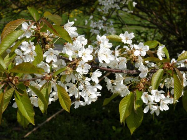 Prunus avium, Vogelkirsche, Wildkirsche