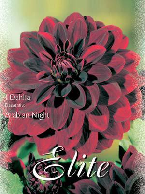 Schmuck-Dahlie 'Arabien Night', Dahlia (Art.Nr. 520128)