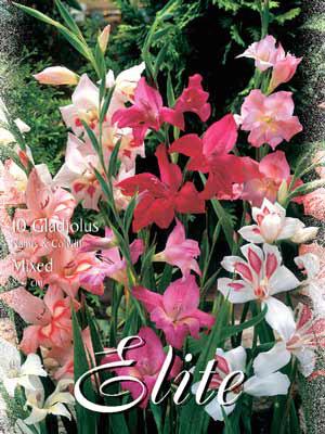 Zwerg-Gladiolen nanum-Mischung, Gladiolus (Art.Nr. 521380)
