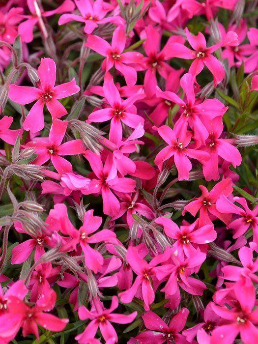 Phlox subulata Atropurpurea  GartencenterShop24